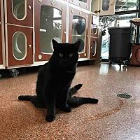 Domestic Shorthair Cat for adoption in Meridian, Idaho - Jenny