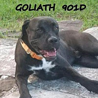 Adopt A Pet :: Goliath - Spring, TX
