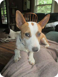 Corgi Mix Dog for adoption in Fitzwilliam, New Hampshire - Gracie