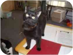 Domestic Shorthair Cat for adoption in Hamburg, New York - Lucky Charm