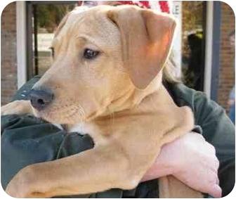 Labrador Retriever Mix Puppy for adoption in Cumming, Georgia - Prada