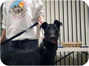 Greyhound Dog for adoption in Walnut Creek, California - ELMO