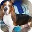 Photo 2 - Basset Hound Dog for adoption in Berkeley, California - Rickey
