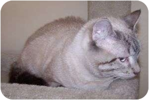 Siamese Cat for adoption in Colorado Springs, Colorado - Pogo