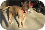American Pit Bull Terrier Puppy for adoption in Sacramento, California - Princess,red nose pup