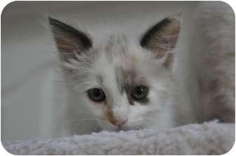 Ragdoll Kitten for adoption in Davis, California - Shanell