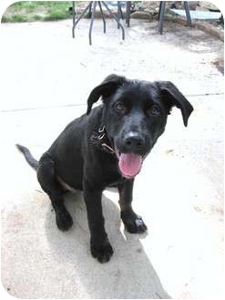 Labrador Retriever Mix Puppy for adoption in Naperville, Illinois - Libby