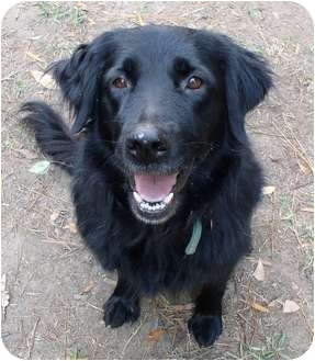 Flat-Coated Retriever Dog for adoption in Haughton, Louisiana - Holly Berry
