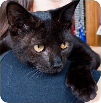 Domestic Shorthair Cat for adoption in Brooklyn, New York - Chandra