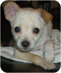 Terrier (Unknown Type, Small) Mix Puppy for adoption in Encino, California - Tug