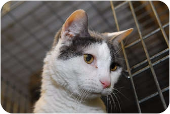 Domestic Shorthair Cat for adoption in New York, New York - Ringo