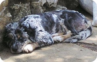 Australian Shepherd/Great Pyrenees Mix Puppy for adoption in Austin, Texas - Joni