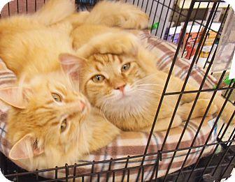 Domestic Mediumhair Cat for adoption in Bear, Delaware - Max and Nimbus