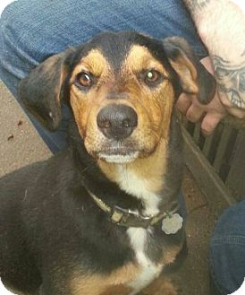 Shepherd (Unknown Type) Mix Dog for adoption in Morgantown, West Virginia - Gretsky