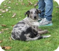 Collie Mix Puppy for adoption in Middletown, New York - Sterling