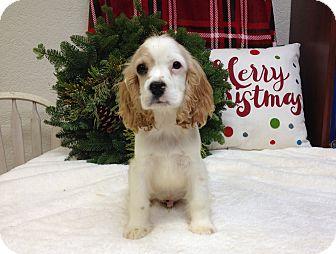 Cavalier King Charles Spaniel/Cocker Spaniel Mix Puppy for adoption in Auburn, California - Acorn