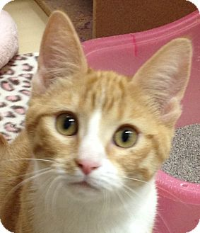 Domestic Shorthair Cat for adoption in Weatherford, Texas - Spice