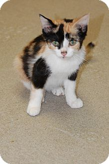 Domestic Mediumhair Kitten for adoption in Bucyrus, Ohio - Gretel