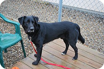 Labrador Retriever/Shepherd (Unknown Type) Mix Dog for adoption in Berea, Ohio - Bear