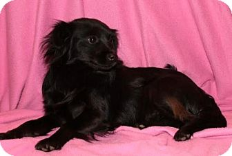 Chihuahua Mix Dog for adoption in Newark, New Jersey - Sparkles