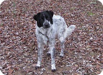 Collie/English Setter Mix Dog for adoption in Great Falls, Virginia - Dawn