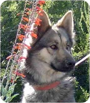 German Shepherd Dog/Siberian Husky Mix Dog for adoption in Southern California, California - Chewy