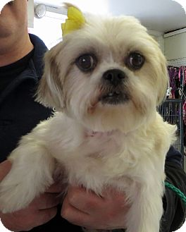 Shih Tzu Dog for adoption in Middletown, New York - Candy