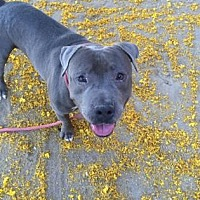 Adopt A Pet :: Bluiey - Palm Springs, CA