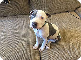 Pit Bull Terrier Mix Puppy for adoption in Newport Beach, California - Apollo