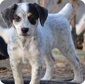 Golden Retriever/Australian Shepherd Mix Puppy for adoption in Simi Valley, California - Legacy