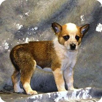 Corgi/Blue Heeler Mix Puppy for adoption in Chalfont, Pennsylvania - Stevie