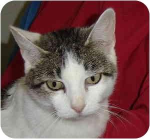 Domestic Shorthair Cat for adoption in Aledo, Illinois - Misty