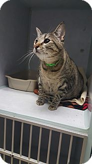 Domestic Shorthair Cat for adoption in Cody, Wyoming - Zelda