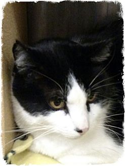 Domestic Shorthair Cat for adoption in Pueblo West, Colorado - Meow Meow