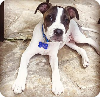 Boxer/Bulldog Mix Puppy for adoption in Hagerstown, Maryland - Phelps