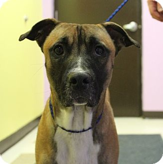 Akita/Boxer Mix Dog for adoption in Claremore, Oklahoma - Akin