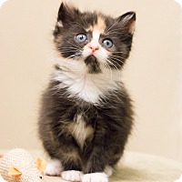 Adopt A Pet :: Baby Bear - Chicago, IL