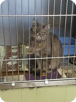Domestic Mediumhair Cat for adoption in Sauk Rapids, Minnesota - Quincey