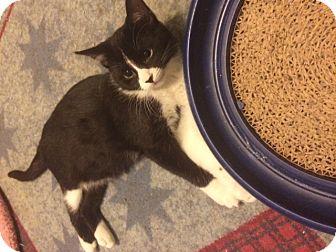 Domestic Shorthair Kitten for adoption in Overland Park, Kansas - Felix
