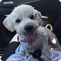 Adopt A Pet :: Molly - Brea, CA