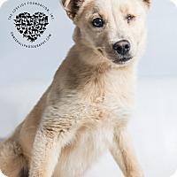 Adopt A Pet :: Anne Bonny - Inglewood, CA