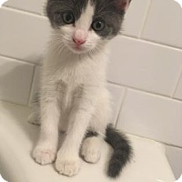 Adopt A Pet :: Arya Stark - Philadelphia, PA
