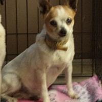 Adopt A Pet :: Lacy Lynn # 1156X - Nixa, MO