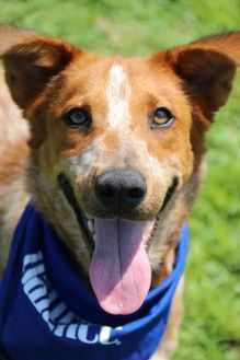 Australian Cattle Dog Mix Dog for adoption in North Myrtle Beach, South Carolina - Harper