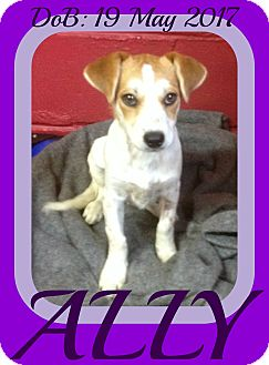 Brittany/Dachshund Mix Puppy for adoption in Jersey City, New Jersey - ASHLEY