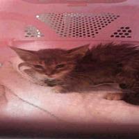Adopt A Pet :: SAFFRON - Fort Walton Beach, FL