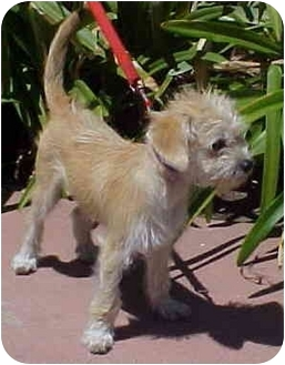 Terrier (Unknown Type, Small) Mix Puppy for adoption in Spring Valley, California - Alfie