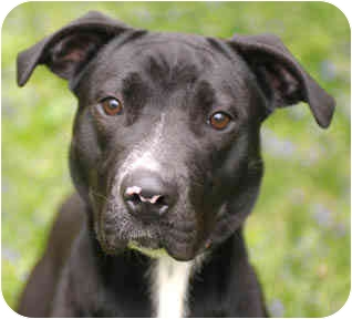 Labrador Retriever Mix Dog for adoption in Chicago, Illinois - Raven