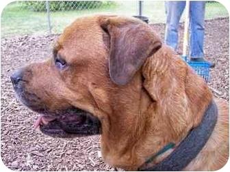 Mastiff/Rottweiler Mix Dog for adoption in Woodstock, Illinois - Max