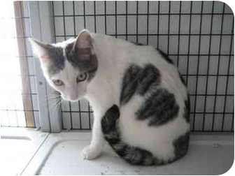 Domestic Shorthair Cat for adoption in Rock Springs, Wyoming - Charlee